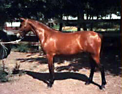 Bristol Gypsy Rose posed in-hand as a yearling